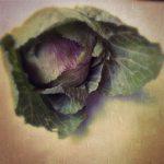 cabbage May 2014